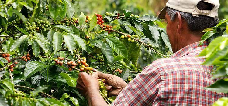 Carnetizarán a recolectores de café en el Quindío. Necesitan 9 mil